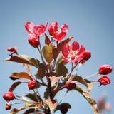 Ρόδινα λουλούδια μήλων στην άνθιση Άνοιξη ηλικίας φωτογραφία Στοκ εικόνες με δικαίωμα ελεύθερης χρήσης