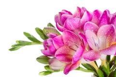 Ρόδινα λουλούδια με τις πτώσεις νερού Στοκ Εικόνες
