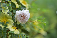 Ρόδινα λουλούδια με τις σταγόνες βροχής Στοκ Φωτογραφία