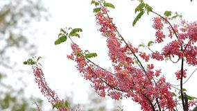 Ρόδινα λουλούδια ντους απόθεμα βίντεο