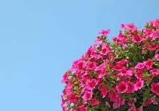 Ρόδινα λουλούδια πετουνιών Στοκ Φωτογραφίες