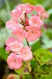 Ρόδινα λουλούδια πελαργονίων Στοκ Φωτογραφίες