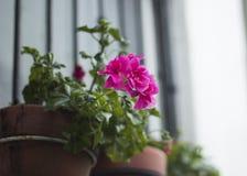 Ρόδινα λουλούδια που κρεμούν σε ένα δοχείο παραθύρων στοκ εικόνα