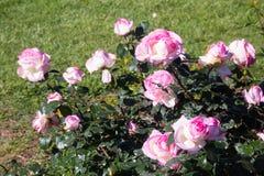 Ρόδινα λουλούδια ροδαλών θάμνων Στοκ φωτογραφία με δικαίωμα ελεύθερης χρήσης