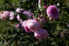 Ρόδινα λουλούδια ροδαλών θάμνων Στοκ φωτογραφίες με δικαίωμα ελεύθερης χρήσης