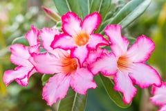 Ρόδινα λουλούδια, ρόδινο Adenium Στοκ Εικόνα