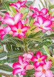 Ρόδινα λουλούδια, ρόδινο Adenium Στοκ Φωτογραφίες