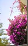 Ρόδινα λουλούδια σε ένα μπαλκόνι στην ηλιοφάνεια Στοκ Εικόνες