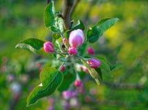 Ρόδινα λουλούδια σε ένα νέο δέντρο της Apple την άνοιξη Στοκ φωτογραφίες με δικαίωμα ελεύθερης χρήσης
