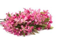 ρόδινα λουλούδια σε ένα Apple-δέντρο Στοκ Φωτογραφίες