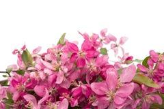 ρόδινα λουλούδια σε ένα Apple-δέντρο Στοκ Φωτογραφία