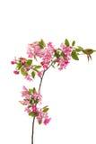 ρόδινα λουλούδια σε ένα Apple-δέντρο Στοκ Εικόνα