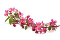 ρόδινα λουλούδια σε ένα Apple-δέντρο Στοκ Εικόνες