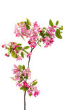 ρόδινα λουλούδια σε ένα Apple-δέντρο Στοκ φωτογραφία με δικαίωμα ελεύθερης χρήσης