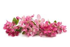 ρόδινα λουλούδια σε ένα Apple-δέντρο Στοκ φωτογραφίες με δικαίωμα ελεύθερης χρήσης