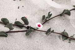 Ρόδινα λουλούδια στην άμμο Στοκ Εικόνα
