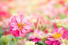 Ρόδινα λουλούδια στον κήπο με την ηλιοφάνεια το πρωί στοκ εικόνες
