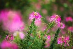 Ρόδινα λουλούδια στον κήπο Στοκ φωτογραφία με δικαίωμα ελεύθερης χρήσης
