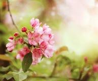 Ρόδινα λουλούδια στον κλάδο του δέντρου της Apple Στοκ Εικόνες