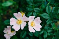 Ρόδινα λουλούδια στον πάγκο με τα φύλλα Στοκ φωτογραφία με δικαίωμα ελεύθερης χρήσης