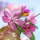 Ρόδινα λουλούδια στους κλάδους των οπωρωφόρων δέντρων Στοκ εικόνα με δικαίωμα ελεύθερης χρήσης