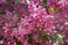 Ρόδινα λουλούδια στους κλάδους των οπωρωφόρων δέντρων Στοκ Εικόνες