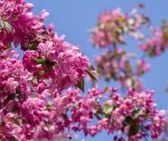 Ρόδινα λουλούδια στους κλάδους των οπωρωφόρων δέντρων Στοκ εικόνες με δικαίωμα ελεύθερης χρήσης