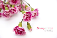Ρόδινα λουλούδια στο άσπρο υπόβαθρο με το κείμενο δείγμα (ελάχιστο ύφος) Στοκ φωτογραφία με δικαίωμα ελεύθερης χρήσης