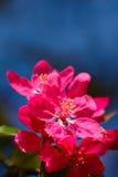 Ρόδινα λουλούδια στο μπλε υπόβαθρο Στοκ Εικόνες