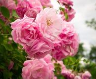 Ρόδινα λουλούδια στο ροδαλό θάμνο στον κήπο, θερινός χρόνος Στοκ φωτογραφία με δικαίωμα ελεύθερης χρήσης