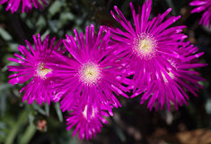 Ρόδινα λουλούδια ταπήτων Στοκ εικόνα με δικαίωμα ελεύθερης χρήσης