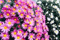 Ρόδινα λουλούδια της Daisy Στοκ Εικόνες
