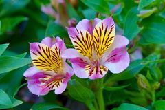 Ρόδινα λουλούδια τιγρών Στοκ φωτογραφία με δικαίωμα ελεύθερης χρήσης
