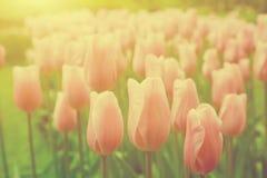 Ρόδινα λουλούδια τουλιπών στον κήπο την ηλιόλουστη ημέρα την άνοιξη Στοκ Φωτογραφίες
