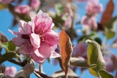 Ρόδινα λουλούδια του μήλου Στοκ Εικόνες
