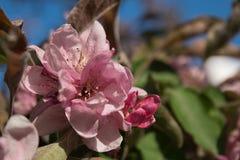 Ρόδινα λουλούδια του μήλου Στοκ Φωτογραφία
