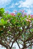 Ρόδινα λουλούδια του τροπικού frangipani δέντρων (plumeria) Στοκ Εικόνες