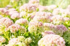 Ρόδινα λουλούδια του sedum με το φως του ήλιου και λίγη μύγα Στοκ Εικόνα