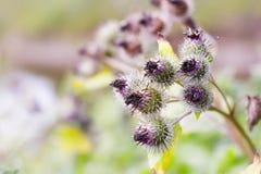 Ρόδινα λουλούδια των prickles ενός burdock Στοκ φωτογραφίες με δικαίωμα ελεύθερης χρήσης