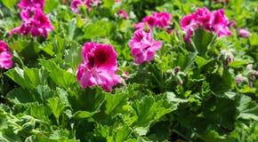 Ρόδινα λουλούδια χρώματος Στοκ Φωτογραφίες