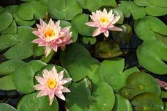 Ρόδινα λουλούδια λωτού στον κήπο στοκ εικόνα με δικαίωμα ελεύθερης χρήσης