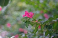 Ρόδινα λουλούδια. Στοκ εικόνα με δικαίωμα ελεύθερης χρήσης