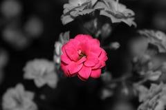 Ρόδινα λουλούδια Στοκ εικόνες με δικαίωμα ελεύθερης χρήσης