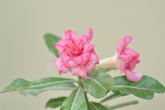 Ρόδινα λουλούδια Στοκ Φωτογραφίες