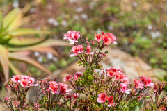 Ρόδινα λουλούδια Απεικόνιση αποθεμάτων