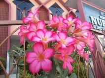 Ρόδινα λουλούδια adenium αζαλεών στοκ φωτογραφία με δικαίωμα ελεύθερης χρήσης