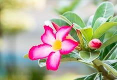 Ρόδινα λουλούδια adenium Στοκ Εικόνα
