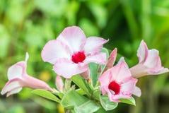 Ρόδινα λουλούδια adenium Στοκ Εικόνες