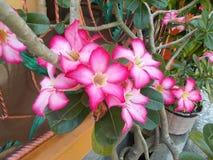 Ρόδινα λουλούδια adenium στοκ εικόνα με δικαίωμα ελεύθερης χρήσης