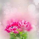 Ρόδινα λουλούδια anemone Στοκ Φωτογραφία